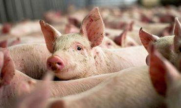 На ферме было убито 63 свиньи после того, как несколько животных заболели АЧС.