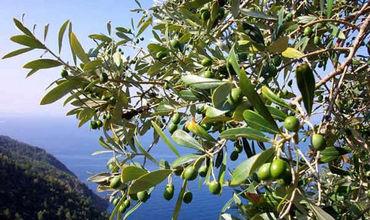 В оливках есть фенольные соединения — олеуропеин и олеокантал.