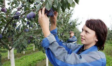 Садоводы, выращивающие яблоки и сливы, начали получать компенсации.