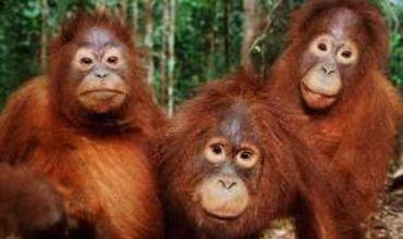 В Австралии выпустят видеоигры для орангутанов.
