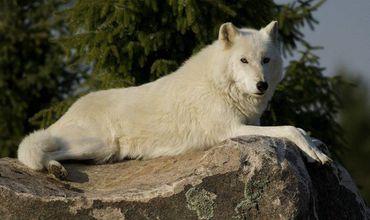 Человек, который отравил белую волчицу Дору в Зоопарке Кишинева, не будет наказан.
