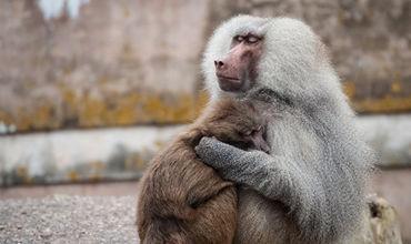 В Замбии любопытный бабуин оставил без электричества 50 тысяч человек.
