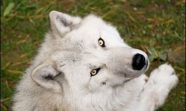 В Молдову животных привезли в начале недели, и они уже приспособились к местному климату.