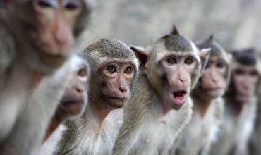 Выяснилось, что каждая из обезьян скончалась от сердечного приступа.