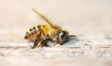 Многочисленные пчелиные семьи погибли из-за небрежного или чрезмерного использования пестицидов на полях.