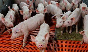Вспышка африканской чумы свиней зарегистрирована у границ Молдовы.
