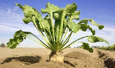 Урожай сахарной свёклы на севере страны может сократиться почти вдвое.