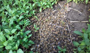 На утрату целых семей пожаловались пчеловоды сел Томай, Гайдар и Баурчи, а также города Чадыр-Лунги.