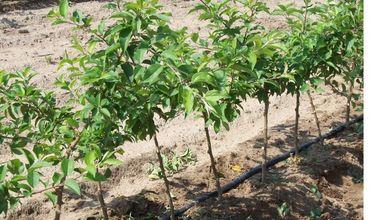 Эксперты Россельхознадзора проинспектируют сады Молдовы.