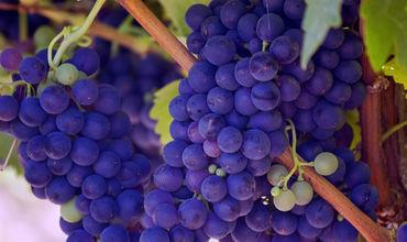Партия свежего винограда, весом 19,7 тонны прибыла грузовым автотранспортом из РМ.