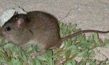Впервые крысы Melomys rubicola были обнаружены на острове в 1845 году.