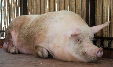 В Гагаузии выявлен очаг африканской чумы свиней.