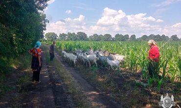 35 коз пропали 11 июля. Братья-пастухи недоглядели.