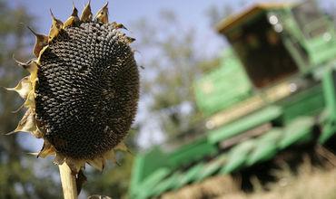На сегодняшний день на территории Гагаузии убрано 90 процентов площадей подсолнечника.