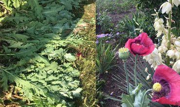 Жительница села Бардар в огороде выращивала наркосодержащие растения