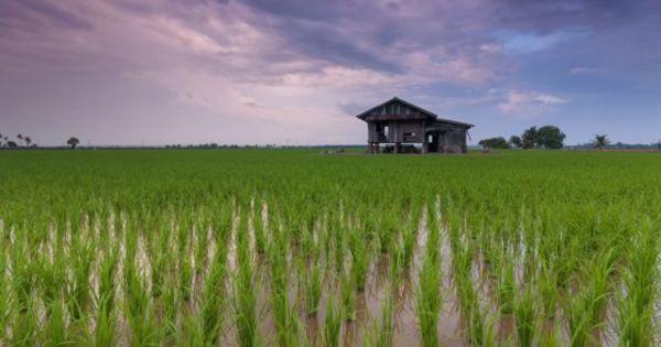 Orezul a atins cel mai mare preţ din ultimii 7 ani. S-a scumpit şi grâul thumbnail