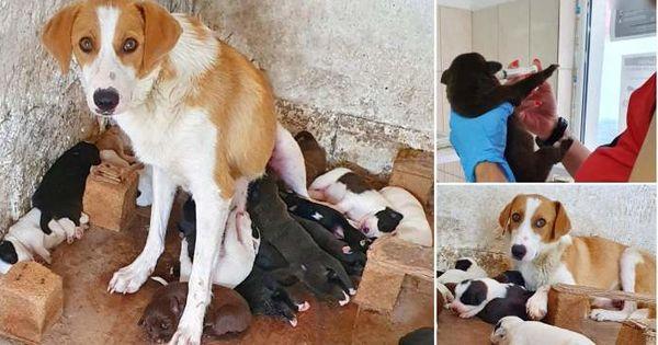 O căţeluşă eroină alăptează 18 pui: 9 ai ei şi încă 9 găsiţi abandonaţi thumbnail
