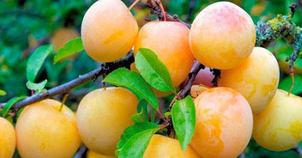Летом 2020 года экспорт черешни и абрикоса из Молдовы сократился, а сливы - вырос thumbnail