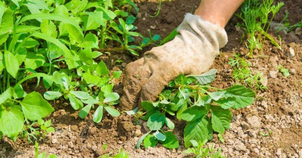 Lucrul sezonier în câmp: ANSA atenționează despre răspândirea virusului thumbnail