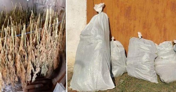 В Сороках в гараже правоохранители обнаружили более 600 растений конопли thumbnail