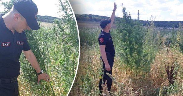 Карабинеры обнаружили в Кишиневе поле с коноплей thumbnail