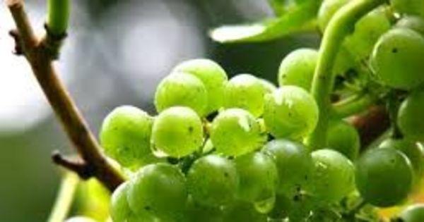 Из-за дождей до 30% столового винограда в Молдове остается неубранным thumbnail