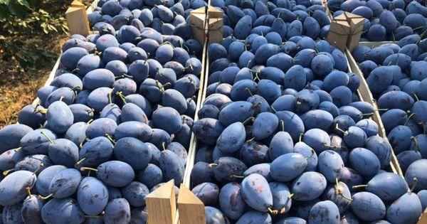 Rusia a distrus peste 16 tone de prune crescute în Republica Moldova thumbnail