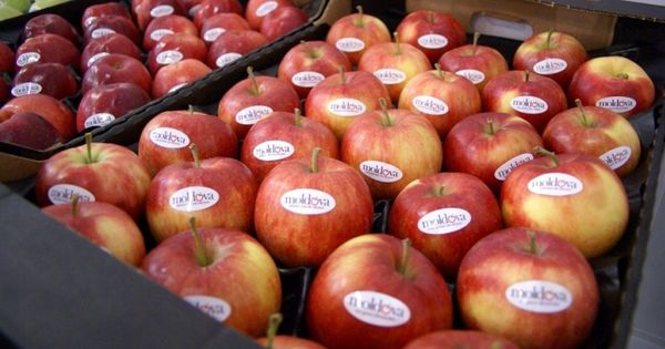 Садоводы Молдовы снизили прогноз экспорта яблок на рынок России thumbnail