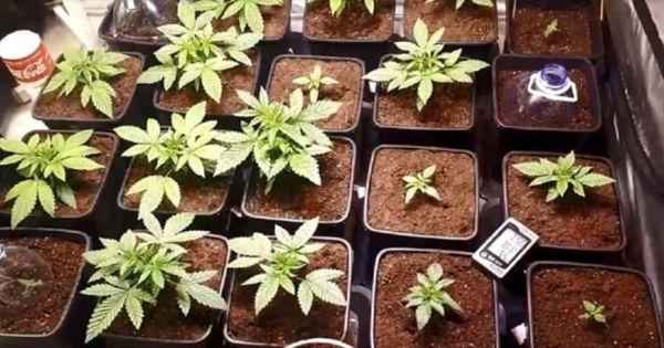 В столице обнаружены лаборатории по выращиванию конопли thumbnail