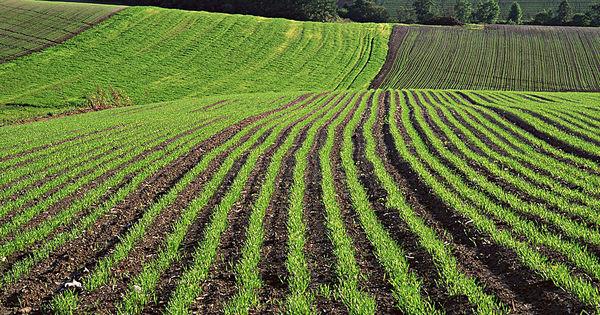 Câmpurile Moldovei, cultivate cu semințe importate: Nu rezistă la călduri thumbnail