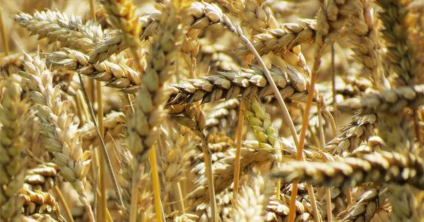 Recolta de cereale în Transnistria este de trei ori mai mică decât anul trecut thumbnail