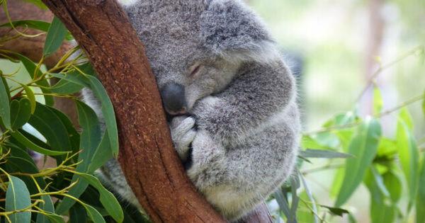 Cercetători: Urșii koala, în pericol de dispariție din cauza omului thumbnail