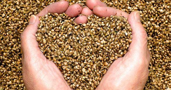 Platforma DA propune statului să achiziționeze semințe de cereale thumbnail