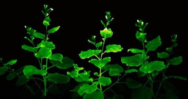 Cercetătorii au creat flori ce emit lumină. Când vor ajunge în locuințe thumbnail