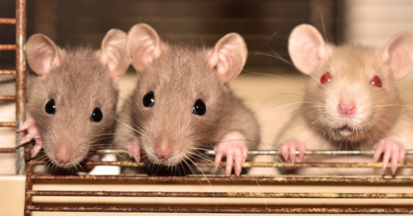 Чипированные крысы под наркозом смогут выявлять коронавирус по запаху всего за две минуты thumbnail