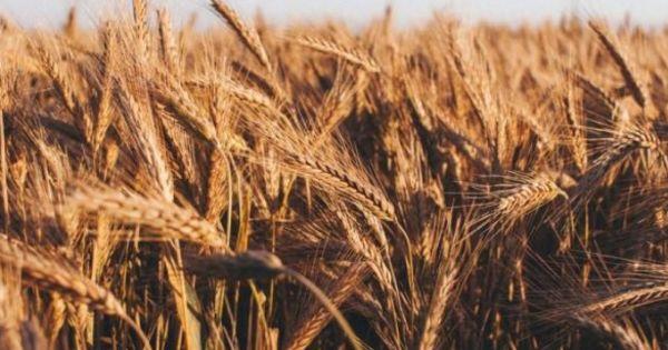 Date BNS: Recolta de grâu a înregistrat o scădere dramatică thumbnail