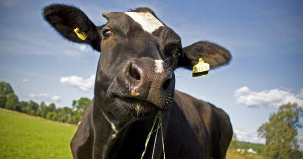 Животноводы Гагаузии: И пасти негде, и кормит нечем thumbnail