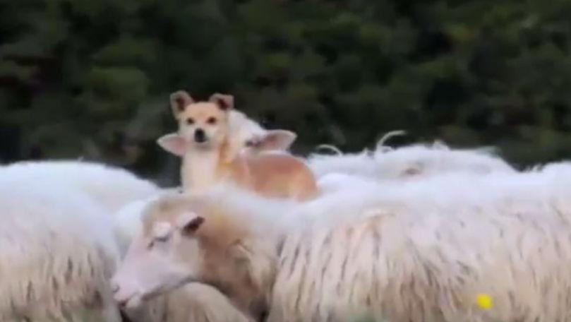 Metoda inedită prin care un câine a ales să supravegheze eficient o turmă de oi
