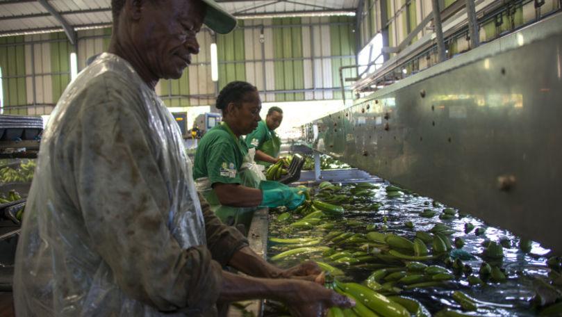 Pericolul uriaș de pe plantațiile de banane care a otrăvit mii de oameni