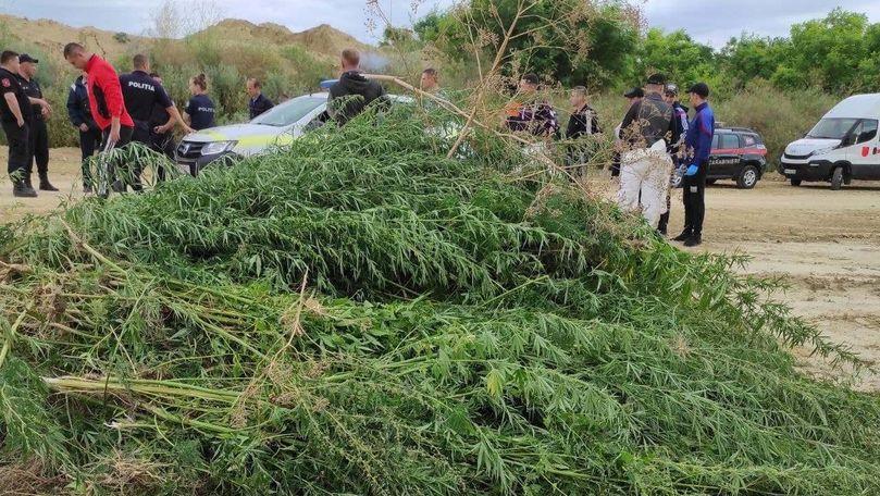 Sute de fire de cânepă, găsite de carabinieri în raionul Taraclia