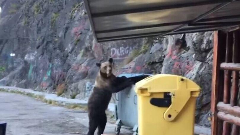 Un urs, filmat cum caută mâncare într-un tomberon