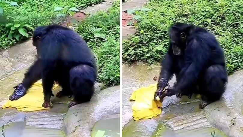 Un cimpanzeu harnic s-a apucat de spălat haine, lângă un râu din India