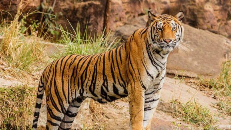 Momentul șocant în care un bărbat cade în cușca unui tigru la zoo și este atacat