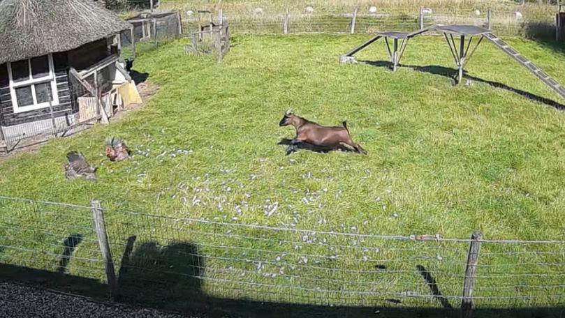 Olanda: O capră și un cocoș au salvat o găină atacată de un șoim