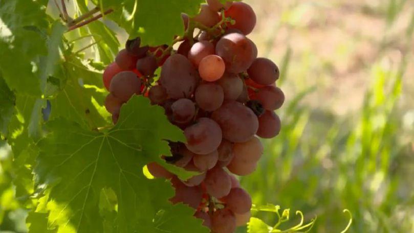 comunicat suprafata cultivata cu vita de vie pentru struguri de vin