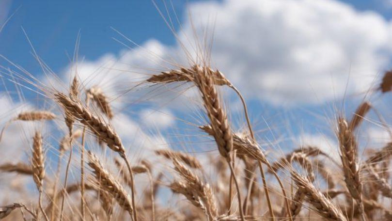 Recolta medie de grâu constituie în acest an circa 4,5 tone per hectar