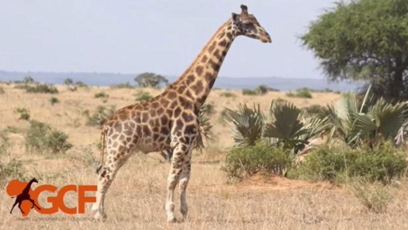 Două girafe pitice, descoperite în zone diferite ale Africii