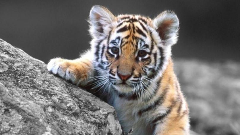 A venit barza la Grădina Zoologică: S-au născut doi pui de tigru