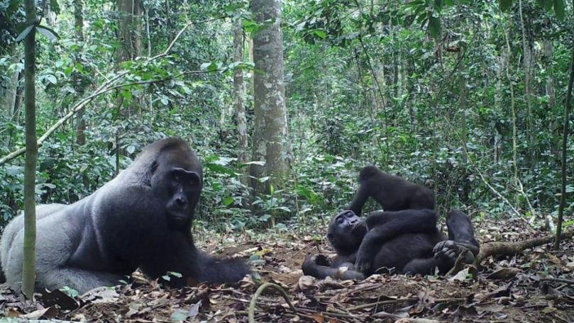 Cimpanzeii au fost văzuți pentru prima dată atacând și ucigând gorile
