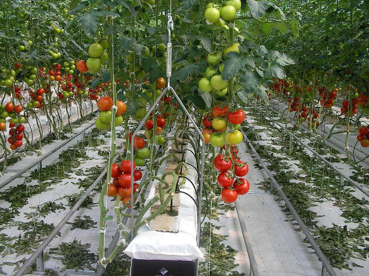 Площадь посадки овощей в Молдове не будет сокращаться из-за засухи